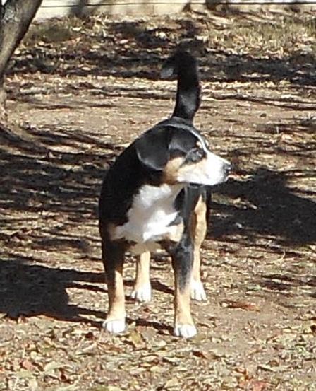 Entlebucher Mountain Dog – Hinz N Co Havanese